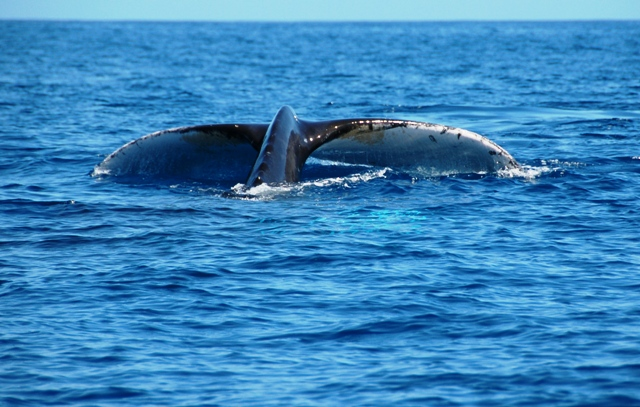 Humpback whale tail, Whale Watching Tour in Tonga