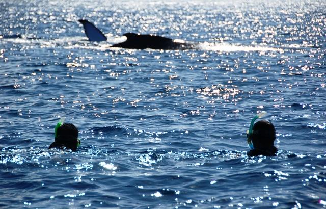 Snorkelers with Humpback Whales.Tongatapu Tonga