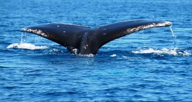 Whale tail; Whale Watching tour from Nuku'alofa Tonga.Tonga Time