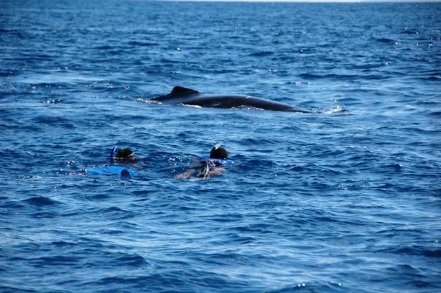 Snorkelers swimming toward humpback whales, Tonga