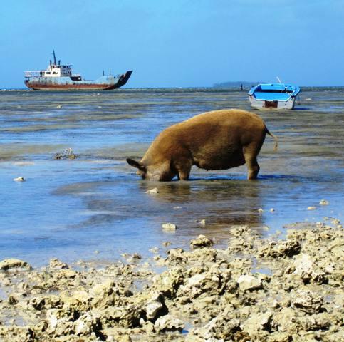 Fishing Pig.Nukualofa Tonga
