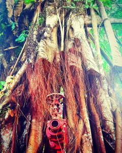 Pipe tree Saw this hydrant nestled in the roots ofhellip