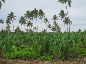 Plantation of Taro and Kumala (not sure about the latter, but I think the heart-shaped vines are Kumala plants)