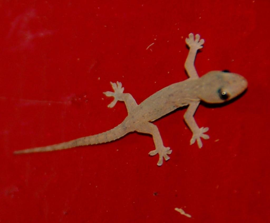 Mr. Gecko of Haomokilikao, Nukualofa, Tonga