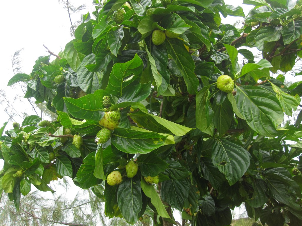 Noni Fruit, which grows all over the place in Nuku'alofa