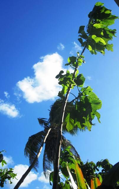Paper Mulberry Tree in Tonga.Tapa Making