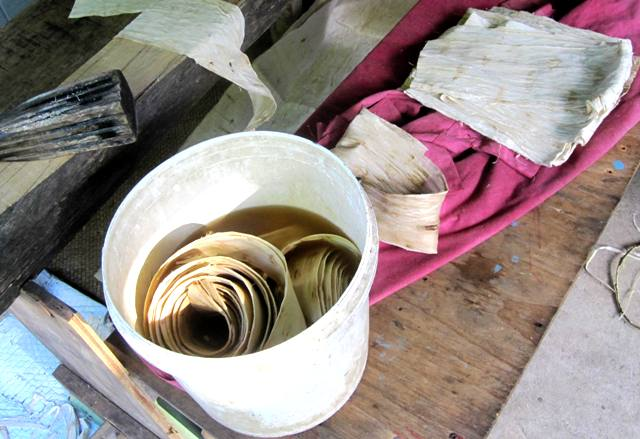 Peeled bark soaking.Tapa Making in Tonga