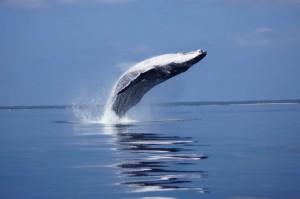 Whale Watching in Ha'apai