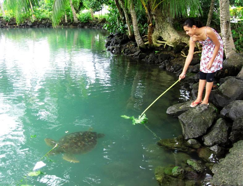 Girl feeding turtle papaya leaf.Upolu Samoa