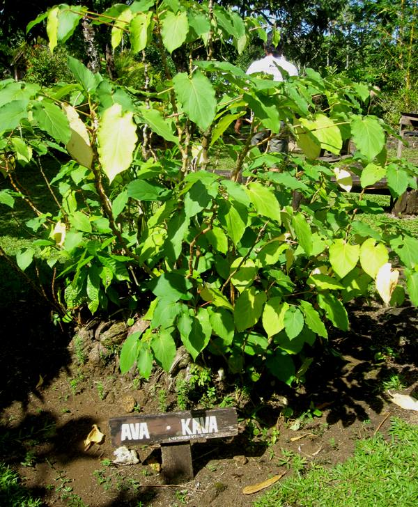 Kava plant.Soboaga Waterfall and Cultural homestead area