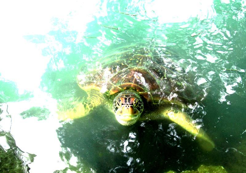 Turtle Sanctuary.Apia, Samoa