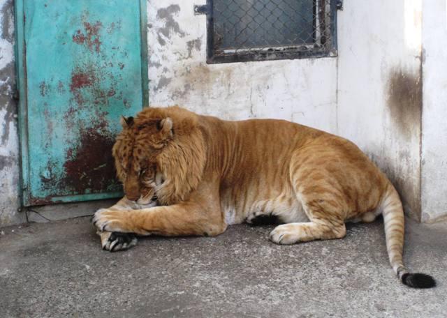 Liger, Siberian Tiger Park, Harbin