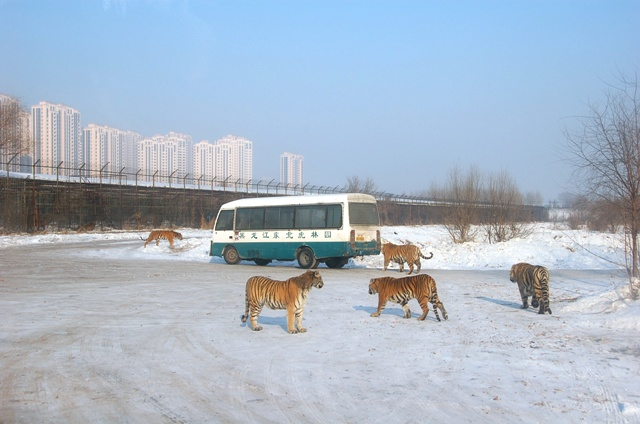 Mini Safari Bus at Siberian Tiger Park, Harbin