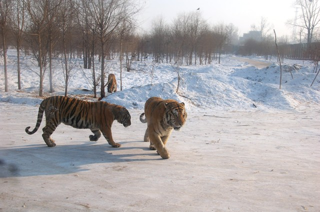 "Siberian Tigers out in the ""Safari"" portion of park,Harbin"