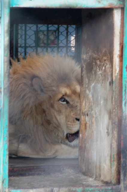 Caged Lion, Siberian Tiger Park, Harbin