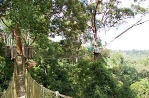 View of two canopy bridges at Bukit Bangkirai in Balikpapan, Indonesia