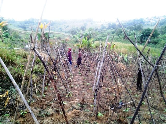 "Harvesting Long-Beans (""Kacang Panjang"")"
