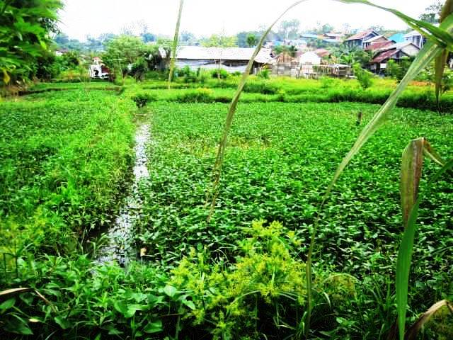 Kangkung fields (water spinach)
