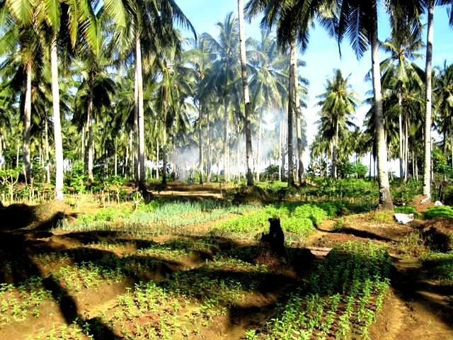 Riding through fields of Kemangi (basil)