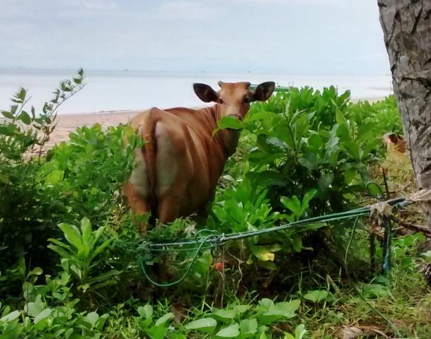 Balikpapan Cow