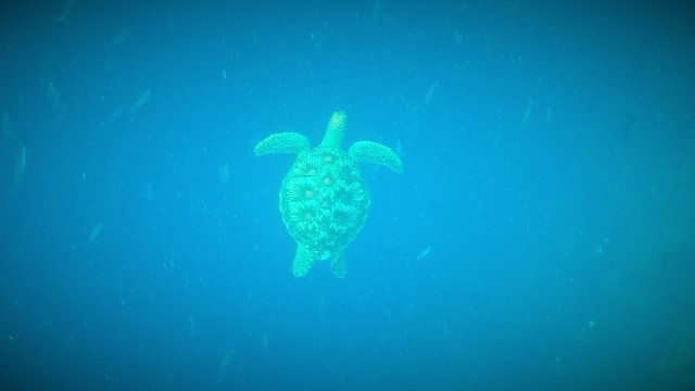 GoPro pic of Sea Turtle at Bunaken. Manado snorkeling