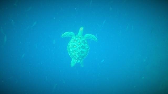 GoPro pic of Sea Turtle at Bunaken. Manado snorkeling