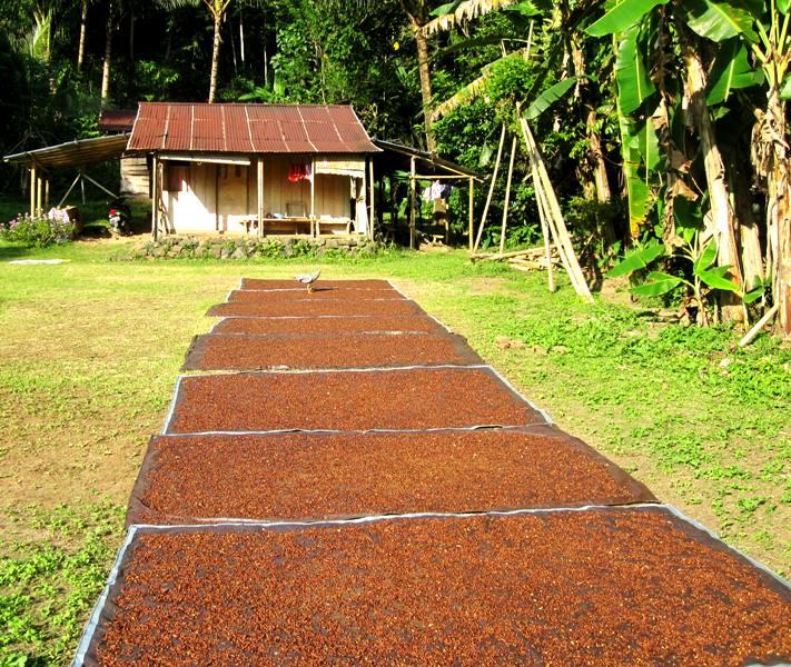 Cloves drying.Manado Sulawesi