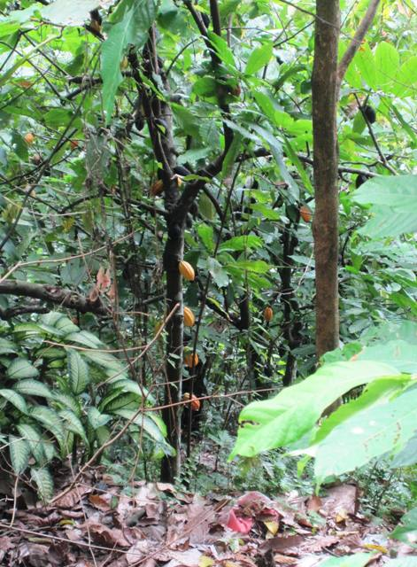 Cocoa Trees off Kali Waterfall Trail.Manado Sulawesi