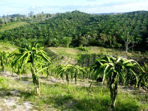 Dragon Fruit and Palm Oil Fields, Balikpapan, Indonesia