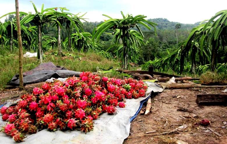 Harvested Dragon Fruit.Balikpapan Indonesia
