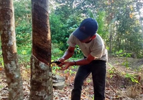 Man cutting rubber tree.Kalimantan Indonesia.2