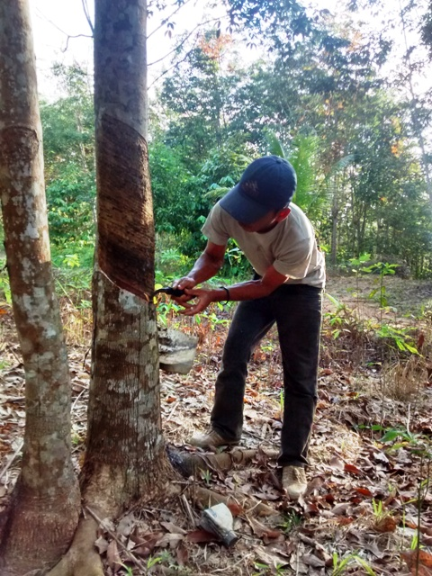 Man cutting rubber tree with fahat.Kalimantan Indonesia