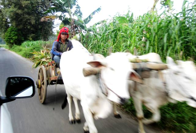Oxen drawn carriage.Minahasa Highlands