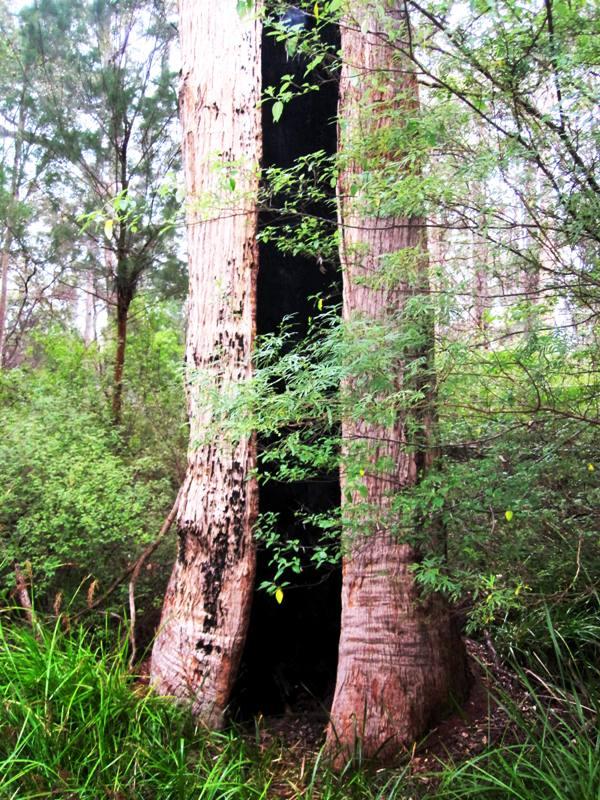 Base of Red Tingle Tree. Western Australia