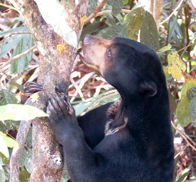 Beruang Madu climbing tree