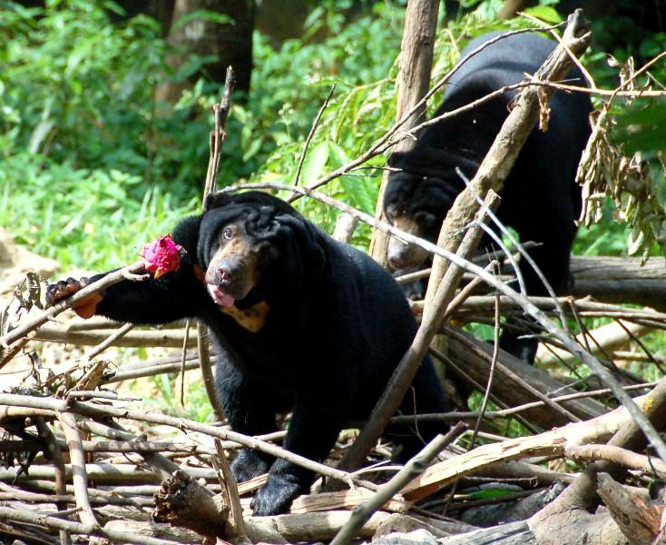 Beruang Madu eating Buah Naga.Balikpapan Indonesia