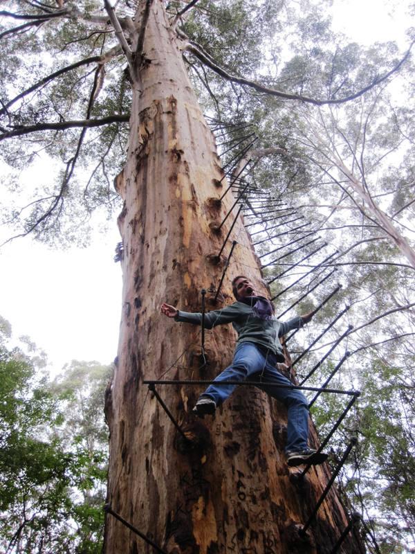 Climbing the Gloucestor Tree.Pemberton Western Australia