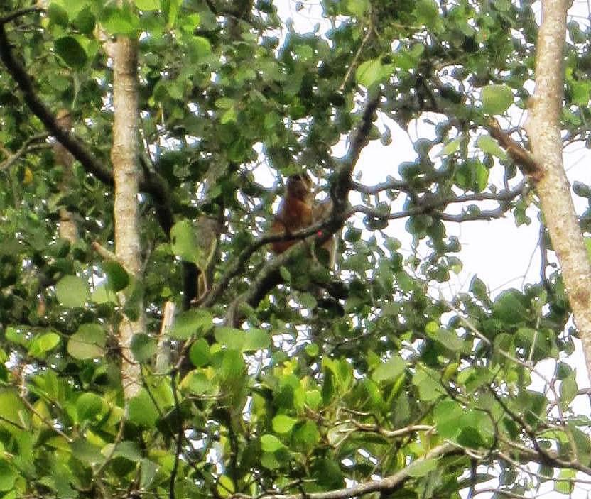 Proboscis Monkey.Balikpapan Indonesia