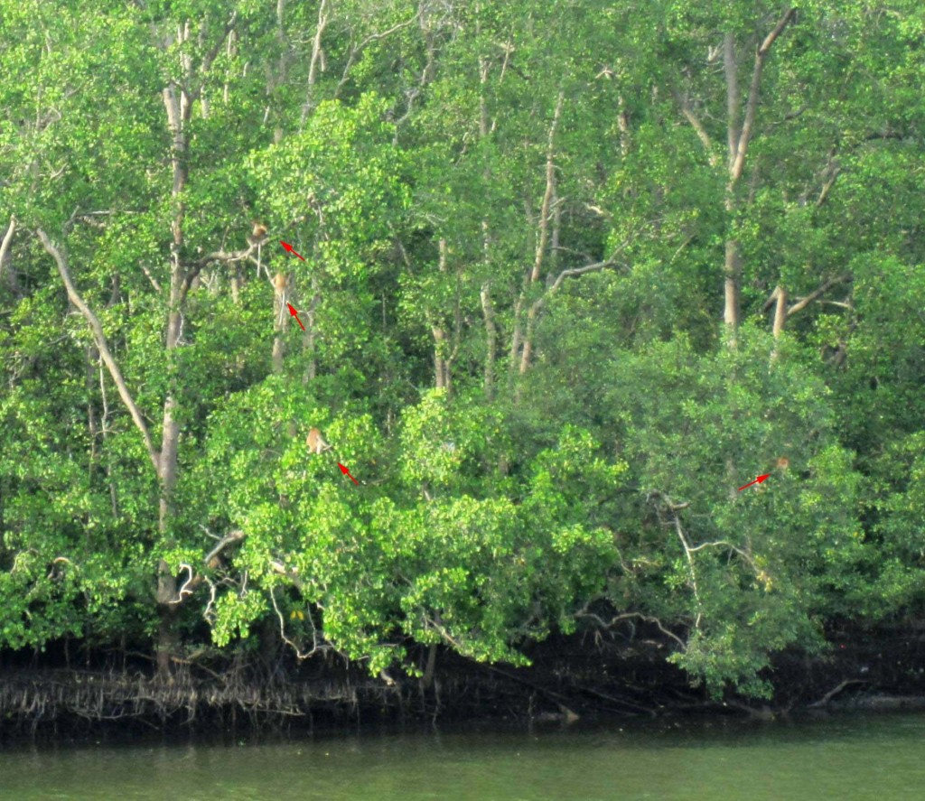 Proboscis monkeys along river in mangrove trees copy