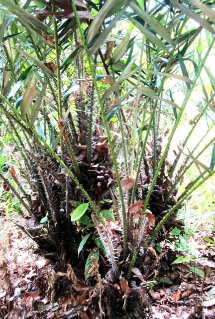 Salak.Snake Fruit.Kalimantan