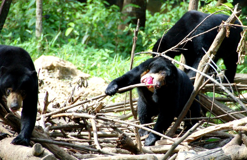 Sun Bears eating dragon fruit.Balikpapan Indonesia