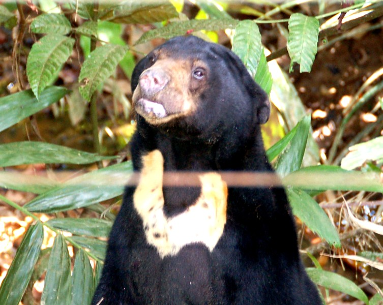 Sun bear chest patch.Sungai Wain Balikpapan Indonesia