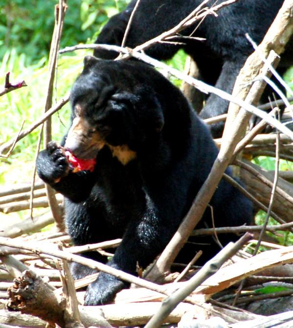 Sunbear eating dragon fruit at Sungai Wain