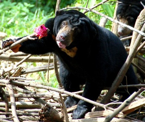Sunbears at Beruang Madu Sanctuary in Kalimantan