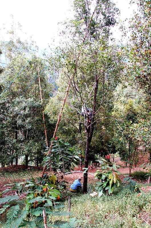 Bamboo Ladders for Clove Trees.Munkuk Bali