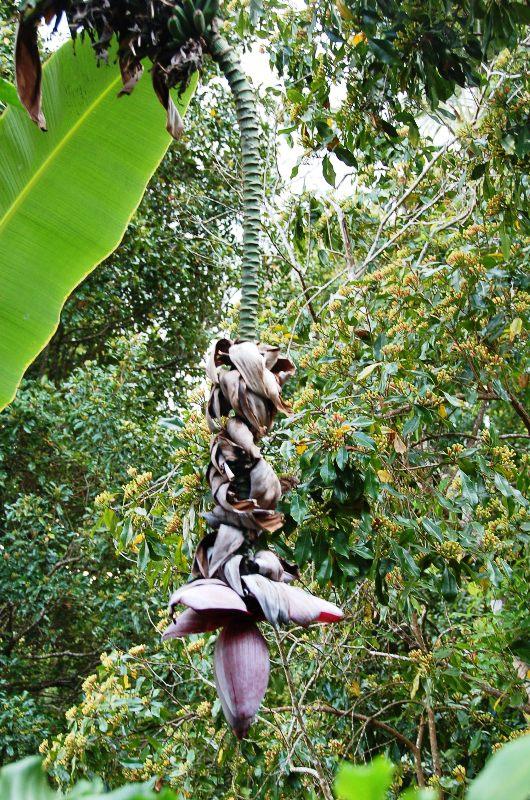 Banana flower in front of clove trees.Munduk Bali