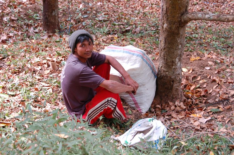 Clove Picker.Munduk Bali