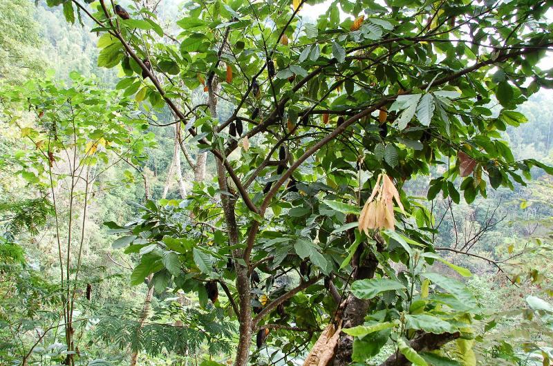 Cocoa Tree. Munduk Bali