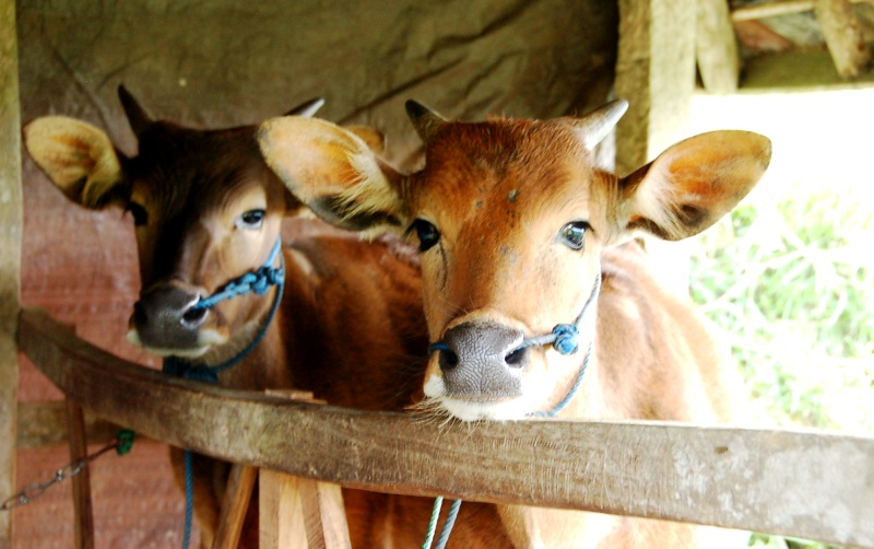 Field Cows at Jatiluwih.Bali Indonesia