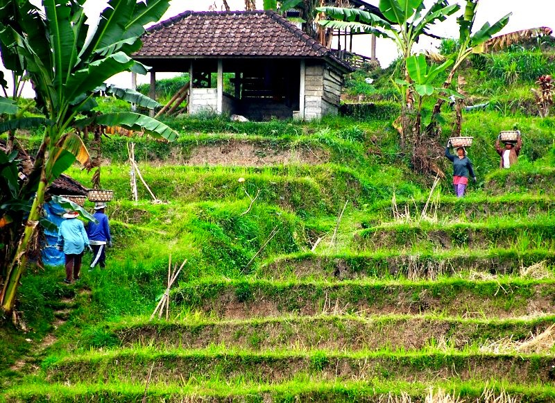 Field workers at Jatiluwih rice paddies.Bali Indonesia